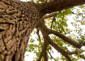Bur_Oak_Legacy_Tree_Leal_Small